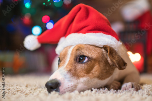 jack russel under a Christmas tree santa red  hat with gifts and candles celebra Poster