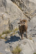 Mouflon in Jasper National Park, Canada