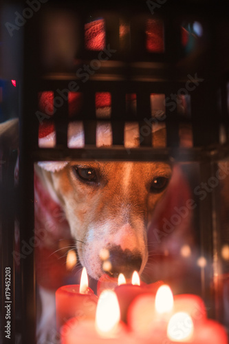 jack russel looks at candles in a lamp celebrating Christmas - 179452203