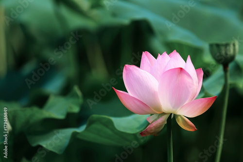 blooming red lotus flower with green leaves Poster
