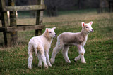 Spring Lambs - 179466410