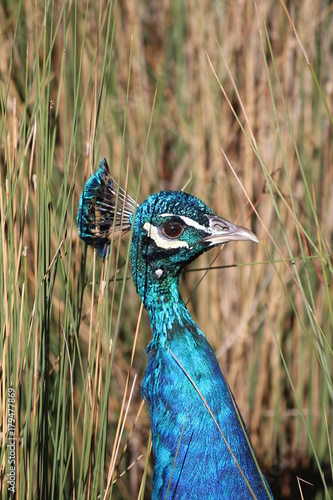 Fotobehang Pauw Peacock Perfection 2
