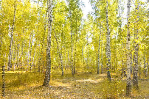 Fotobehang Berkenbos birch forest