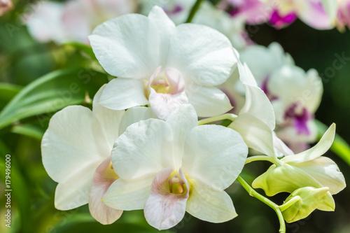Fototapeta White orchids, Dendrobium.