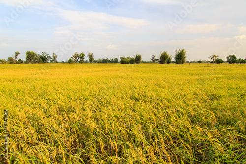 Fotobehang Oranje View paddy fields in rural Thailand