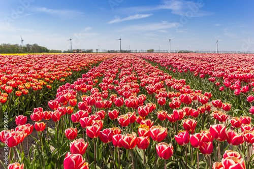 Field of red and white tulips in Flevoland