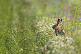 Hare in the wild, in a clearing