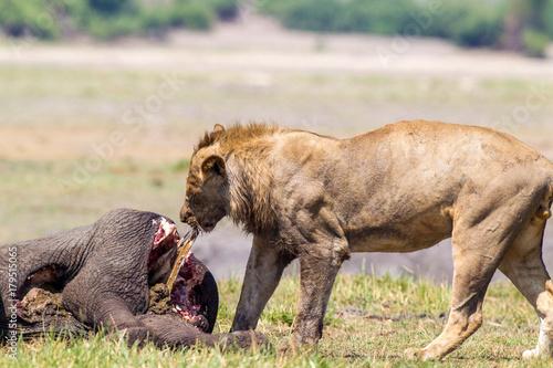 Leoni e leonesse con cuccioli leoncini che mangiano in branco Poster