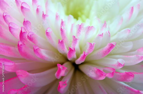 Pink and white aster flower