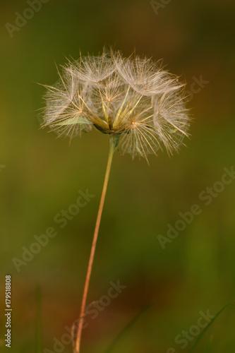Fotobehang Paardebloemen Dry dandelion on a green background.