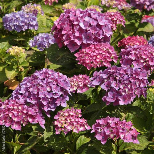 Fotobehang Hydrangea Hortensia mauve