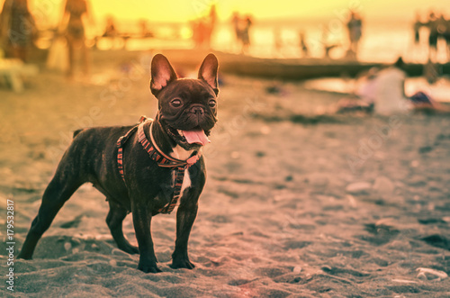 Keuken foto achterwand Franse bulldog French bulldog on the beach