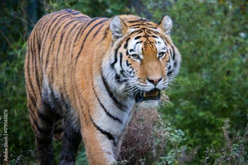 Tiger im Zoo Poster
