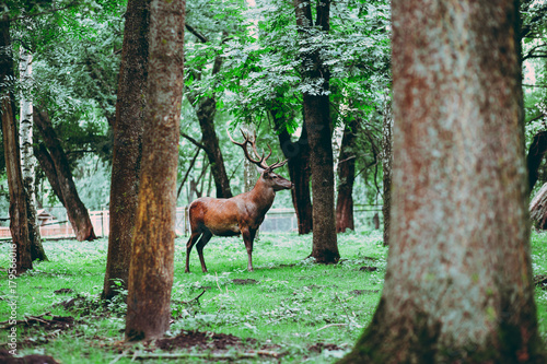 Fotobehang Hert wild deer with large horns in the protected forest