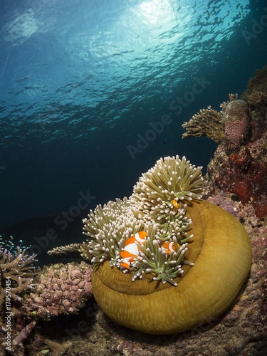 a reef scenic with anemonefish