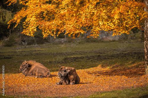 Aluminium Bison Wisent Büffel im Herbst