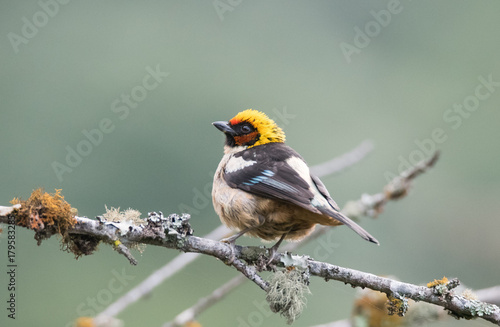 Tanager Bird on Branch Poster