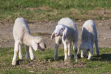 Three cute lambs on field - 179589269