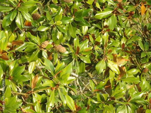 Foto op Plexiglas Landschappen Magnola grandiflora (fruit et feuille)