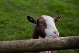 Goat  - 179612085