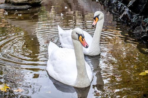 Fotobehang Zwaan Swan in the park