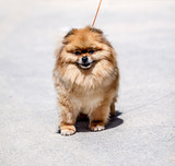 Pomeranian Spitz in nature in the city - 179614420