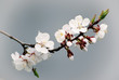 Blossoming of the apricot tree in spring time with white beautiful flowers. Macro image with copy space. Natural seasonal background.