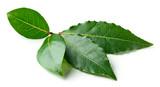 Fresh bay leaves - 179620057