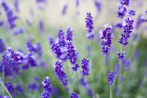 Foto op Plexiglas Purper fields of lavender on the summer time