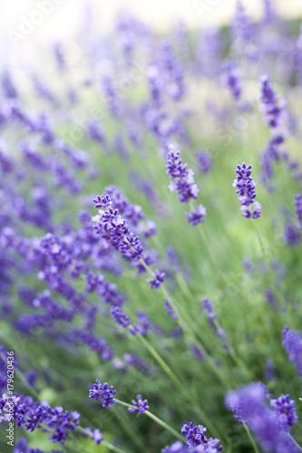 Fotobehang Purper fields of lavender on the summer time