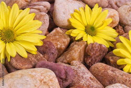Fotobehang Gerbera Yellow Daisies on Wet River Rocks