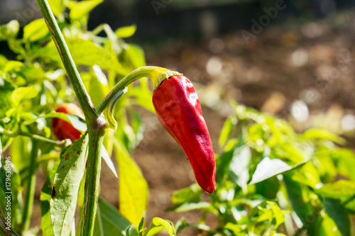 Fotobehang Hot chili peppers red paprika plant in the garden .red hot chili pepper