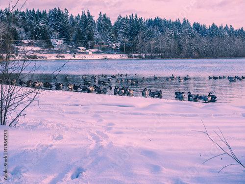 Foto op Plexiglas Lichtroze Winter landscape with Canadian Geese at the lake shore