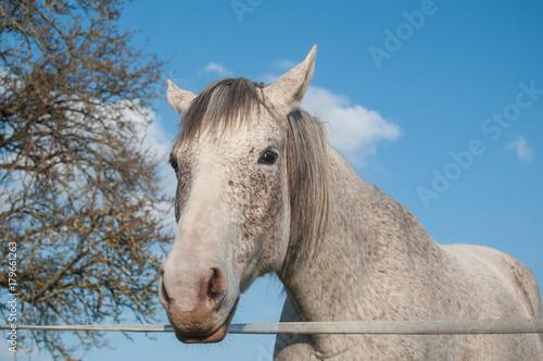 portrait de cheval gris dans une prairie Poster
