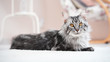 Beautiful silver Maine Coon cat in a bright room