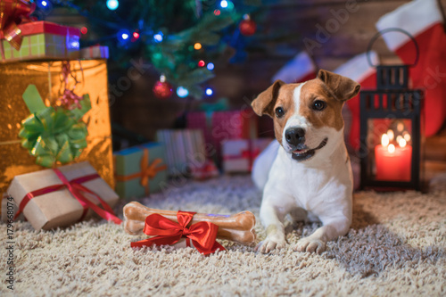 jack russel under a Christmas tree with gifts and candles celebrating Christmas - 179668074