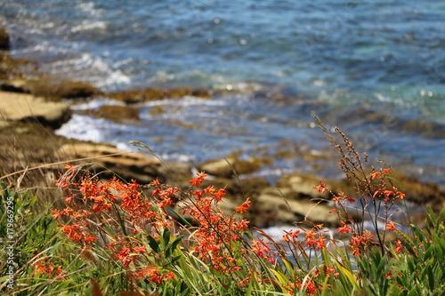 Fotobehang Sydney Montbretie Crocosmia blooming at Cronulla Beach Sydney, Australia