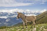 Esel auf einer Bergwiese im Trentino - 179677290