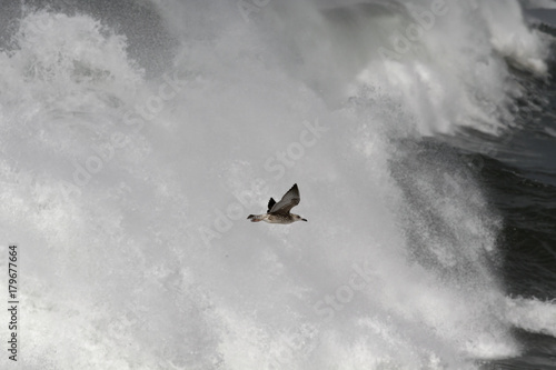 Seagull in flight over stormy waves