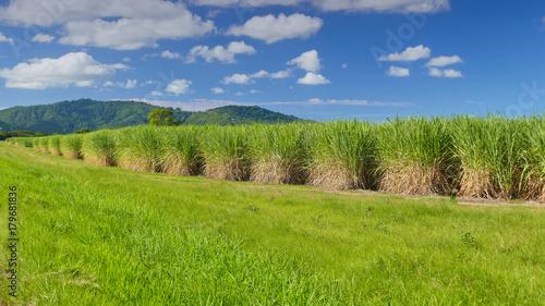 Foto op Canvas Pistache Sugar Cane Plantation, Tweed valley.