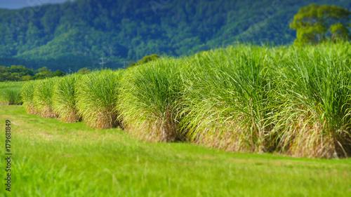 Foto op Plexiglas Pistache Sugar Cane Plantation, Tweed valley.