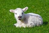 Lamb - 179682089