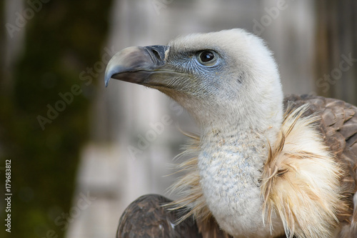 Fotobehang Eagle Vulture