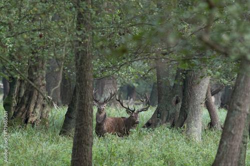 Papiers peints Olive Red deer