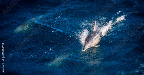 Fotobehang Dolfijn Common dolphin piercing the blue water in the middle of the ocean. Other dolphins are swimming underwater