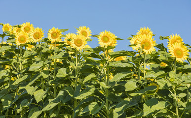 group of yellow sunflowers under the blue sky