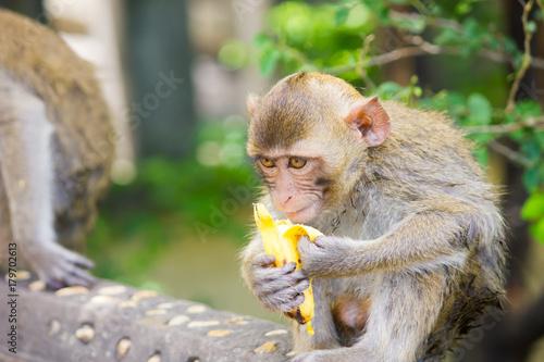 Aluminium Aap Monkeys eat bananas. Monkey forest in Koh Sam Muk,Chon Buri, Thailand.