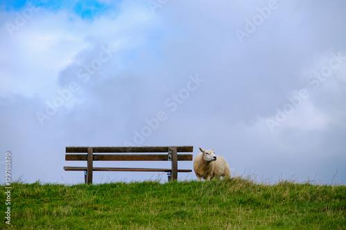 Fotobehang Noordzee Schaf auf dem Deich neben einer Bank