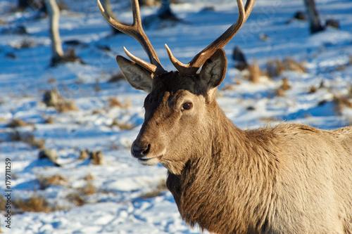 Fotobehang Hert Wild animals of Kazakhstan. Deer Deer are the ruminant mammals forming the family Cervidae.