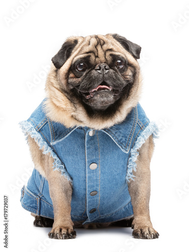 Smiling pug in fashionable vest.